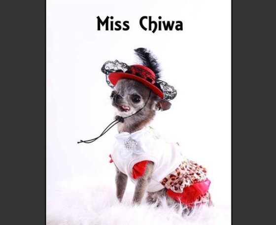 Miss Chiwa, an 11-year-old chihuahua