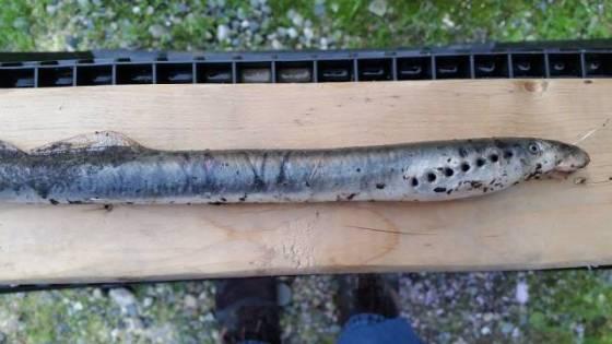 Vampire fish falling from sky june 2015 - alaska-side-view